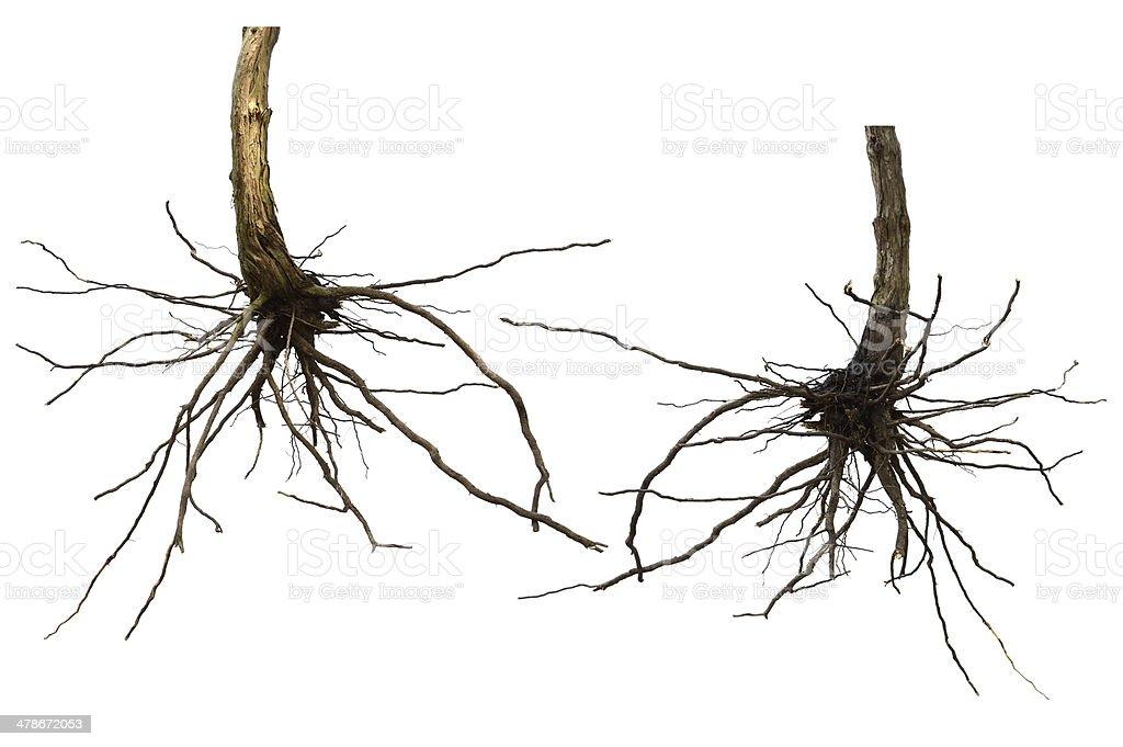 dry root tree isolated stock photo