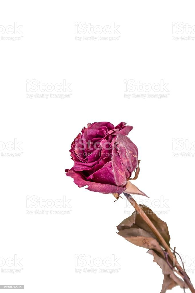 Dry rose flower on a white background stock photo