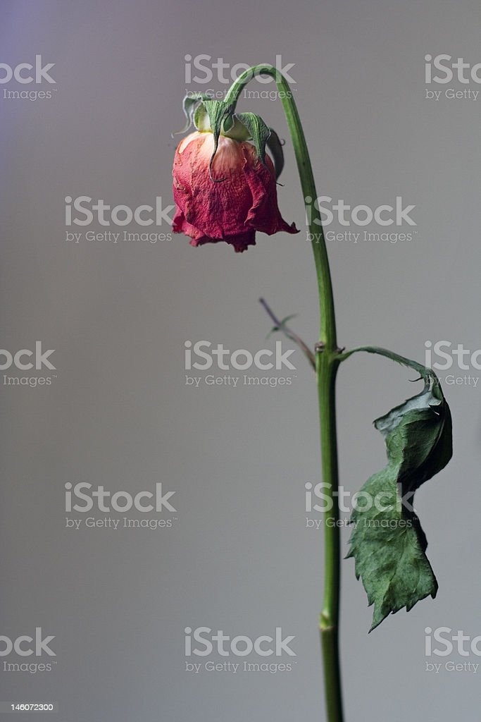 dry rose head down royalty-free stock photo