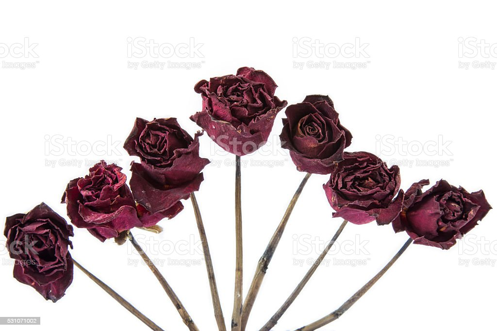 Dry rose isolated on white background. stock photo