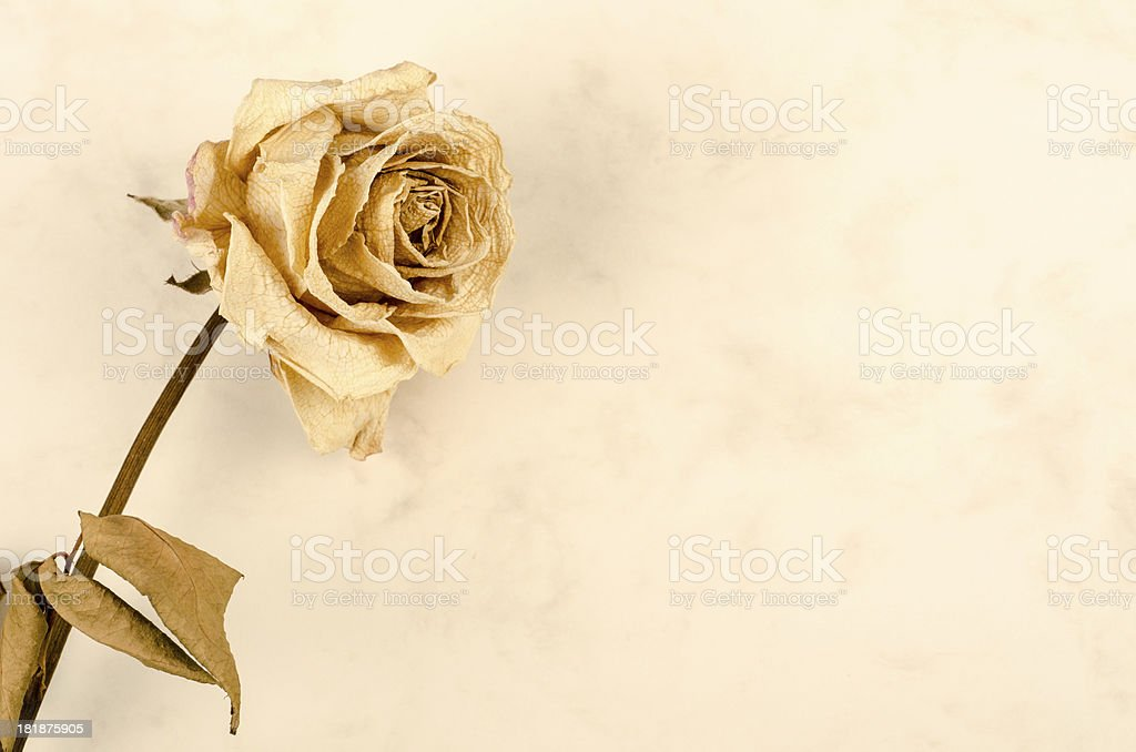 dry rose on vintage paper royalty-free stock photo