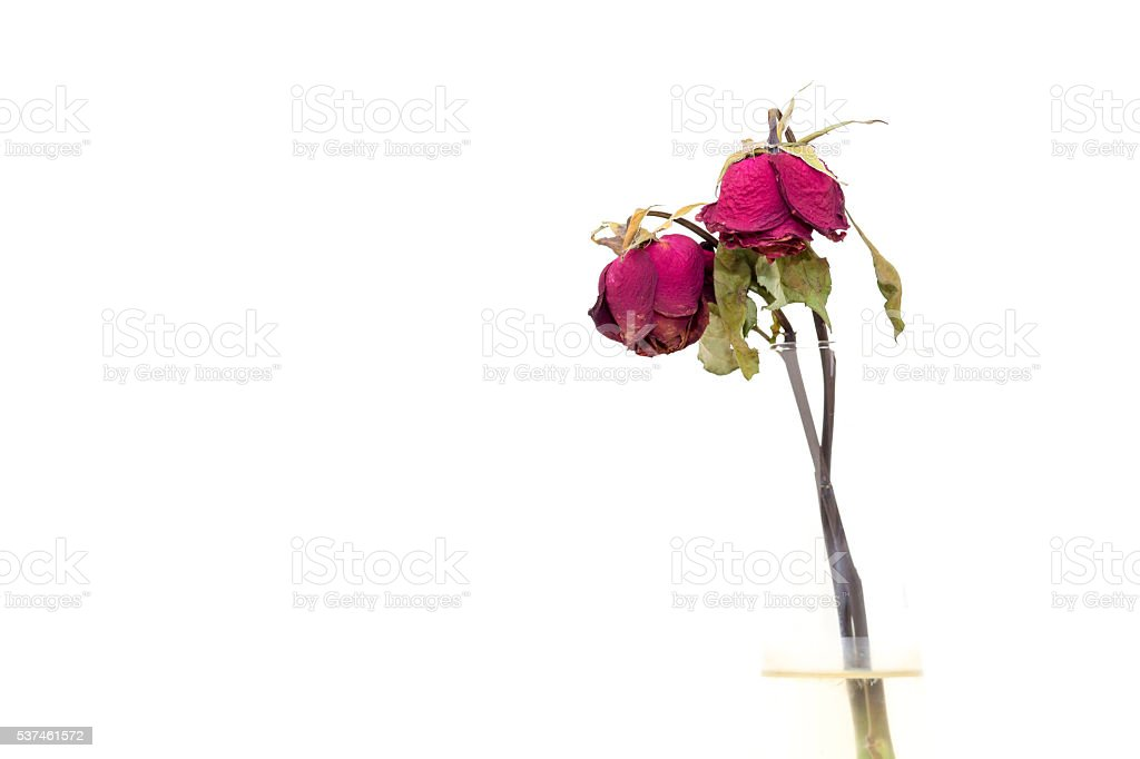Dry roses on white background. stock photo