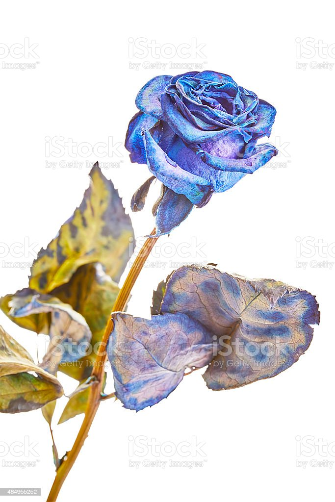 Dry roses stock photo
