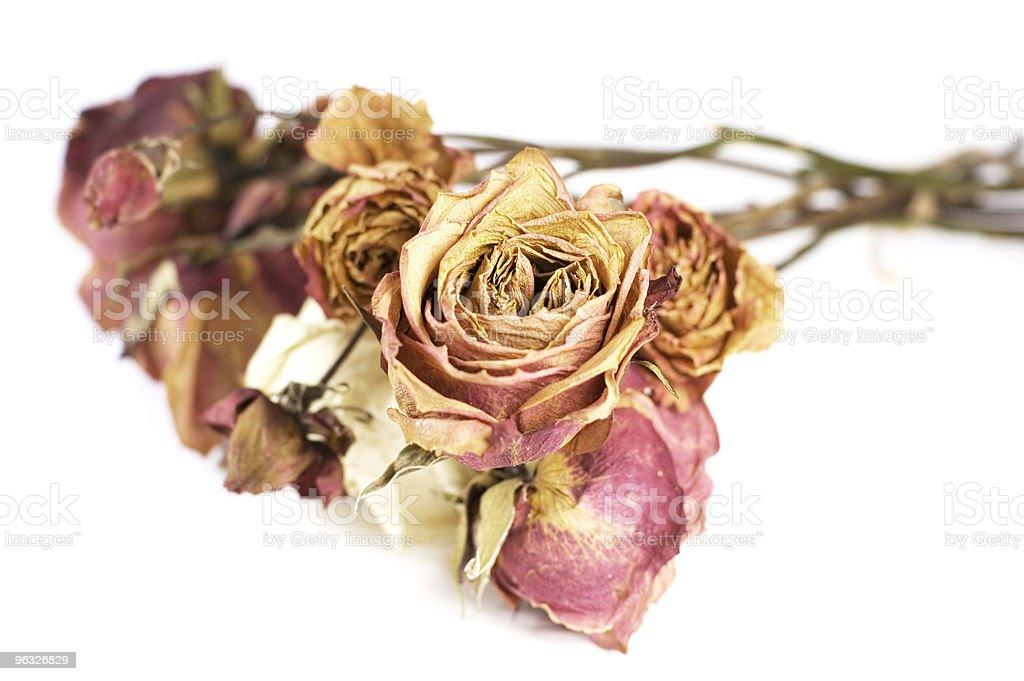 Dry Roses stock photo
