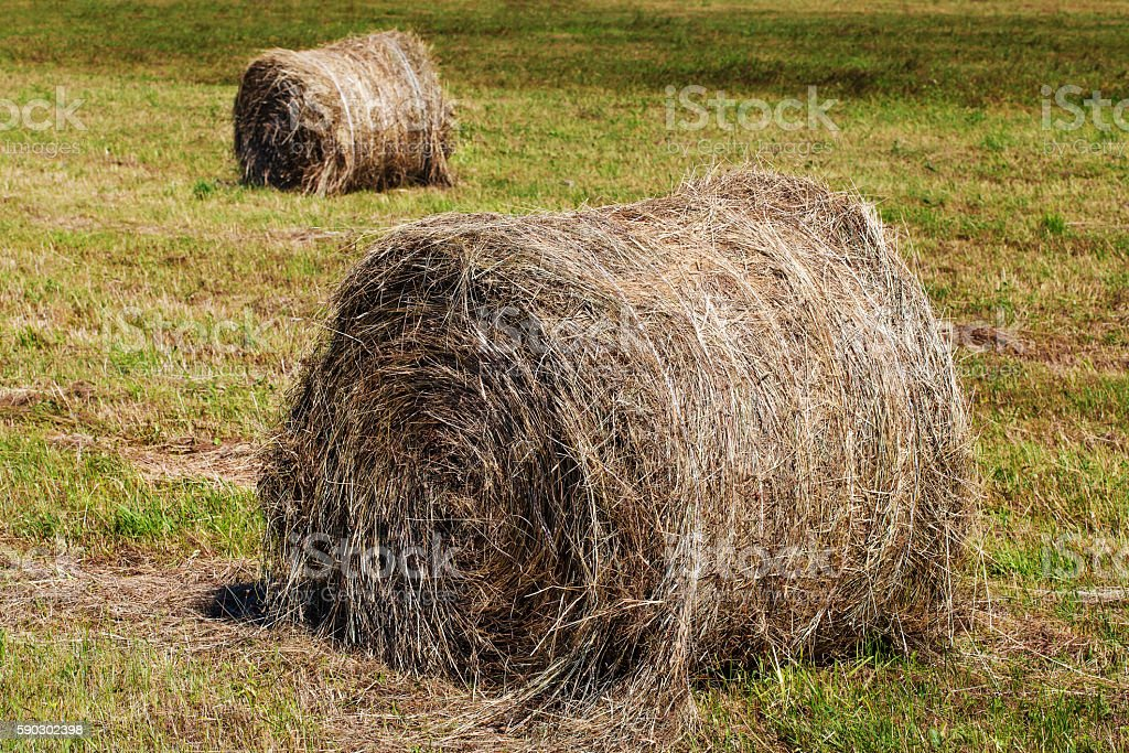 Dry round hay bales on field, natural background stock photo