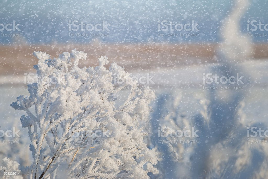 Dry stalks of Angelica in lush frost backlight during snowfall. stock photo