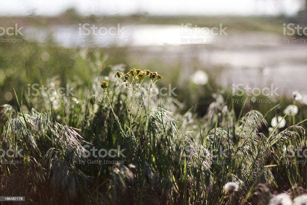Dry steppe grass background royalty-free stock photo