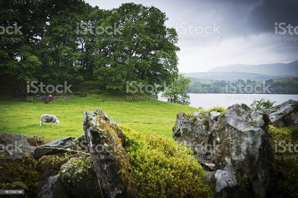 Dry stone wall and Lakeland sheep near Grasmere stock photo