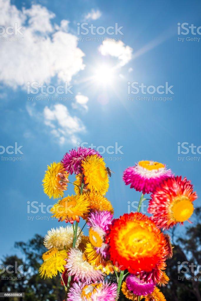 Dry straw flowers background or everlasting. (Helichrysum bracteatum). stock photo