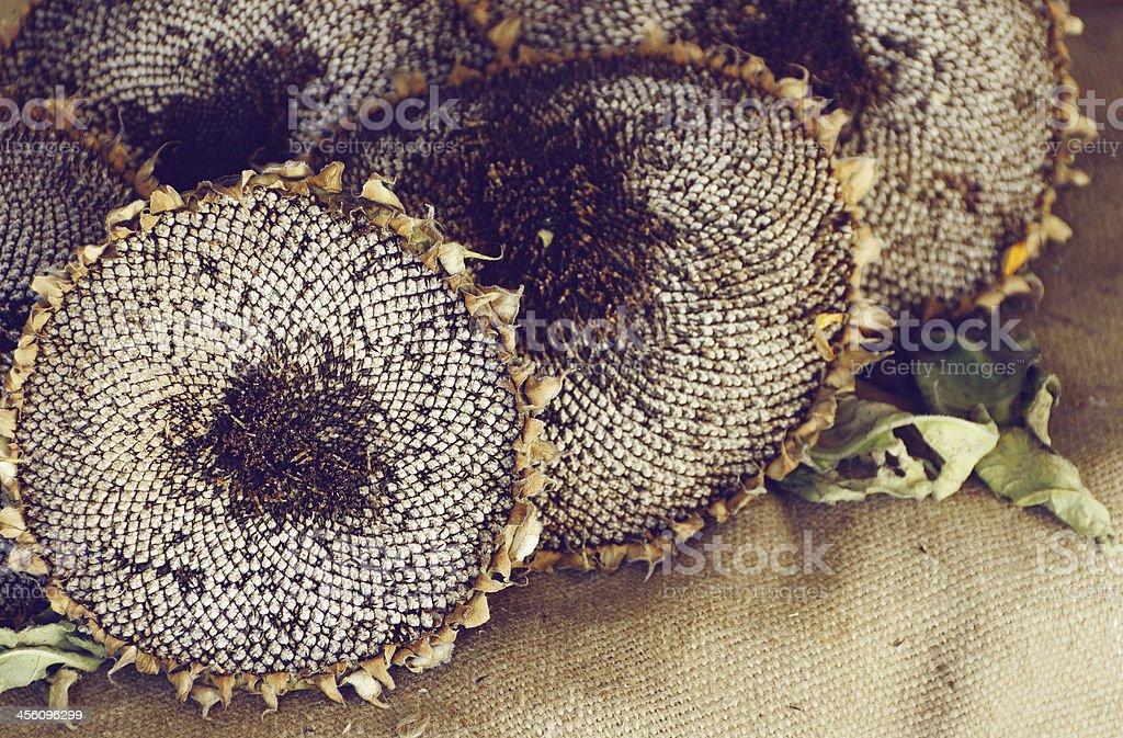 dry sunflowers on burlap stock photo