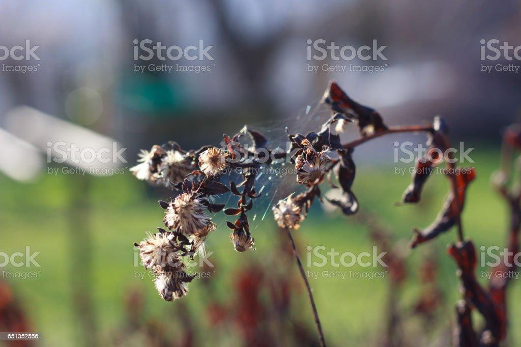 Dry Symphyotrichum novae-angliae stock photo