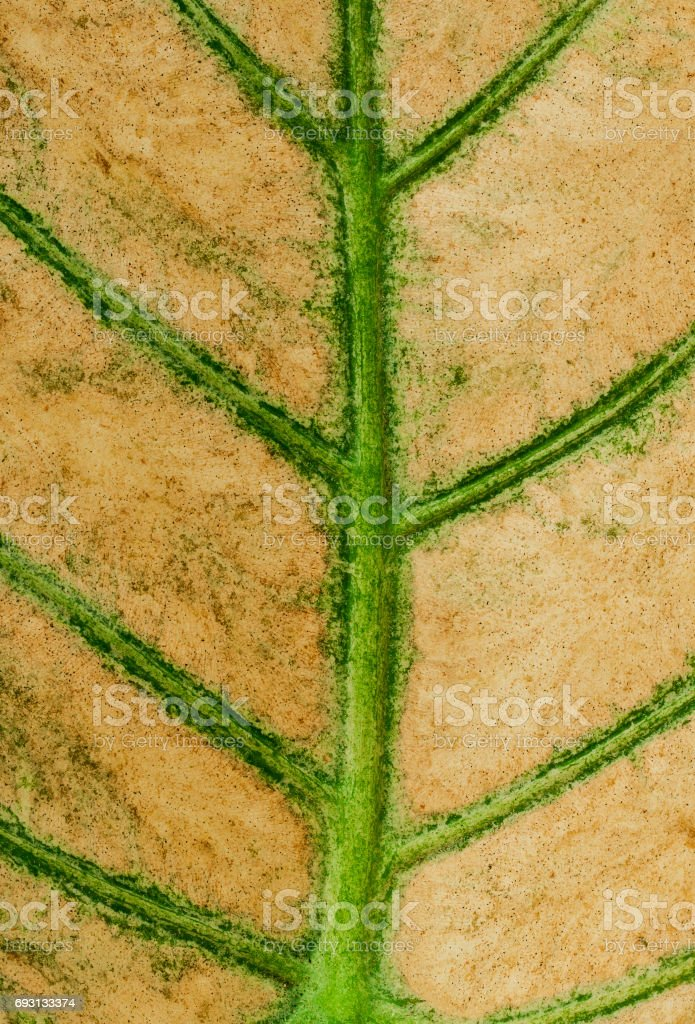 dry taro leaves stock photo