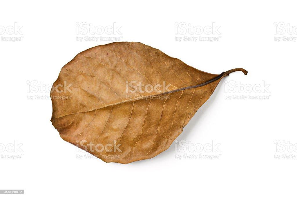 dry terminalia catappa leaf stock photo