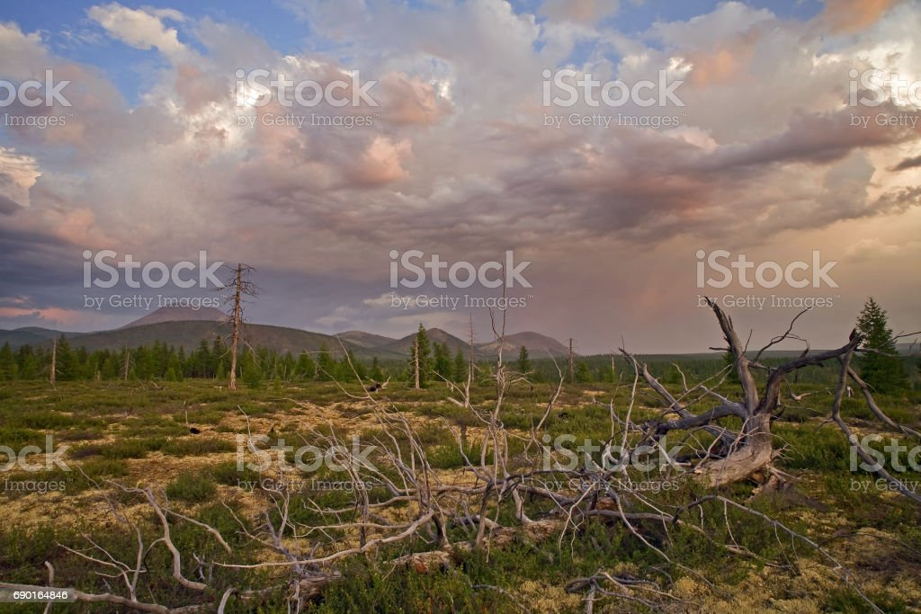 Dry the roots of a tree lying in the woods. stock photo