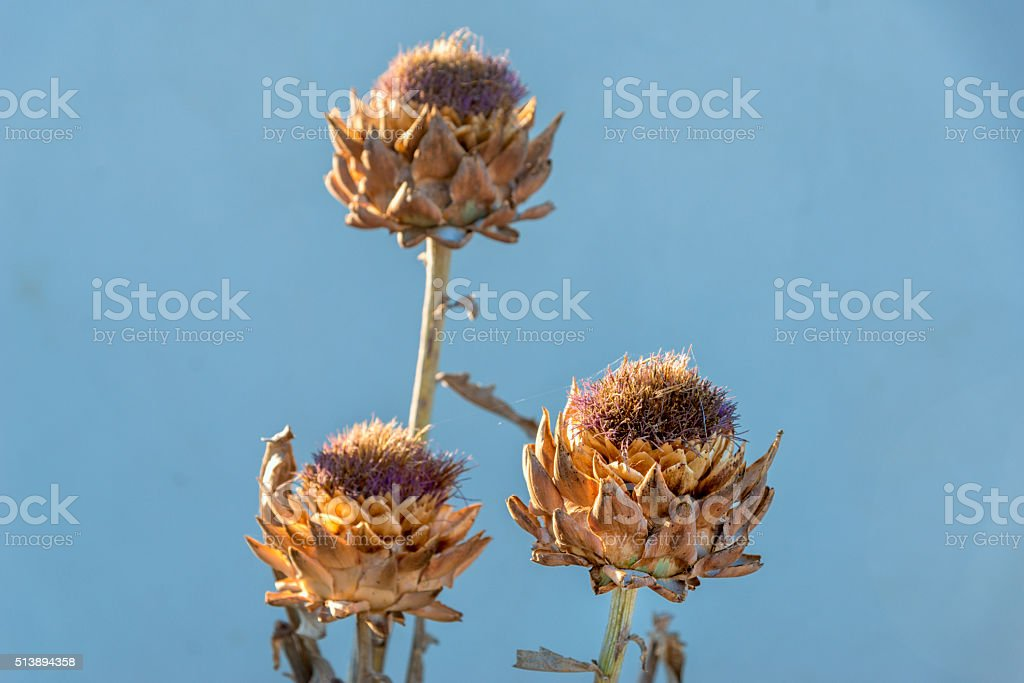 Dry thistle in the sun. stock photo