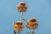 Dry thistle in the sun.