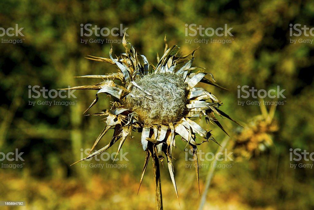 Dry thistle stock photo