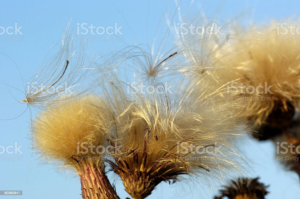 Dry Thistle stock photo
