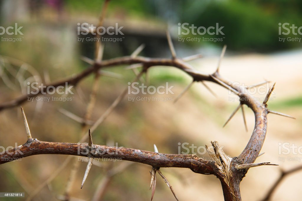 dry thorn close up stock photo