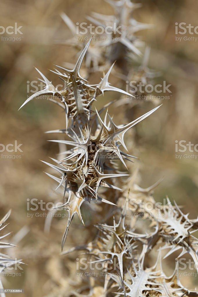 Dry Thorn, Onopordum. stock photo
