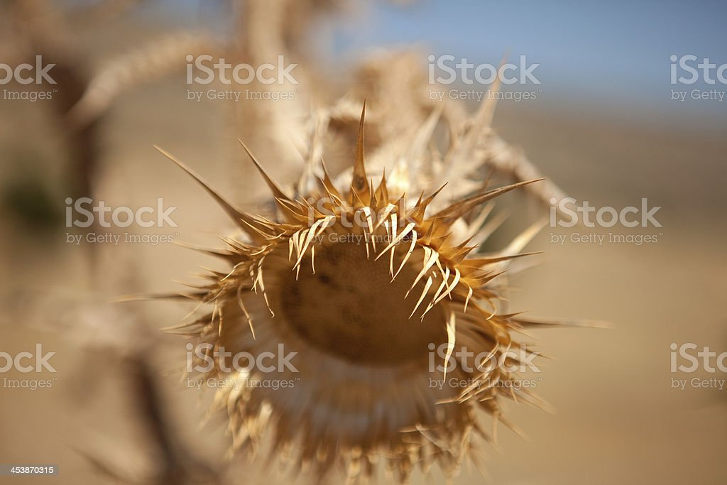 Dry thorn. royalty-free stock photo