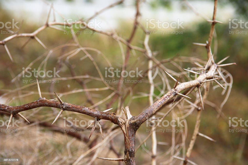 dry thorn stock photo