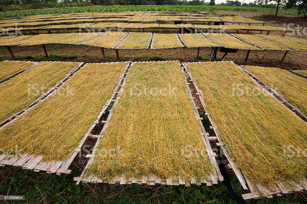 Dry tobacco leaf in bamboo plate in the morning. stock photo