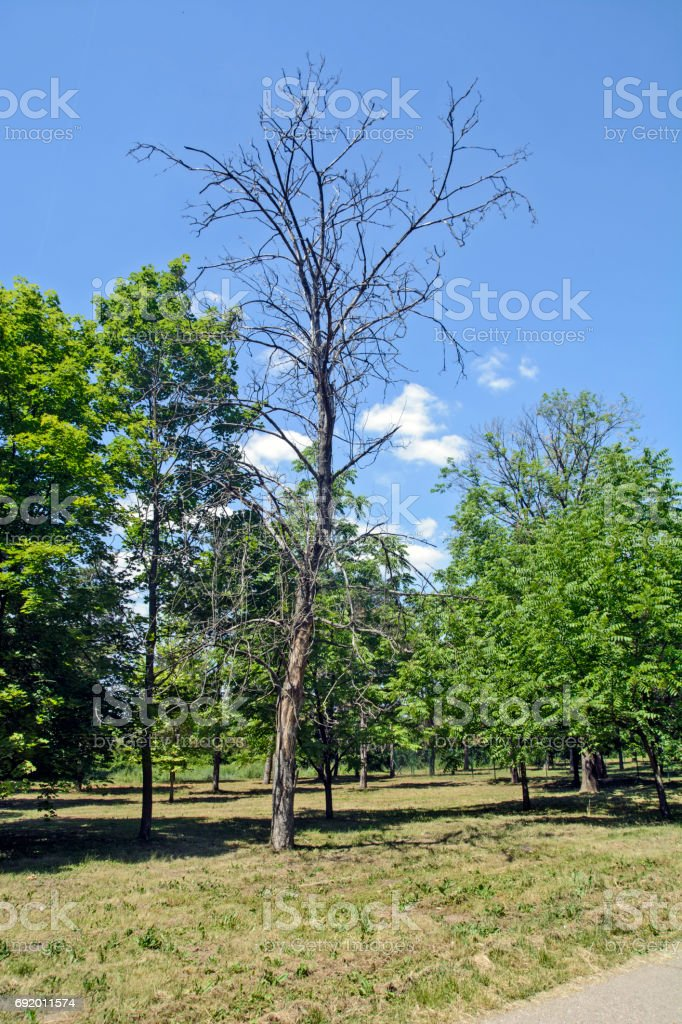 Dry tree in the park stock photo