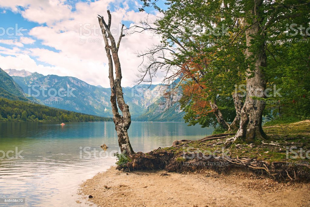 Dry tree on teh shore of lake Bohinj stock photo