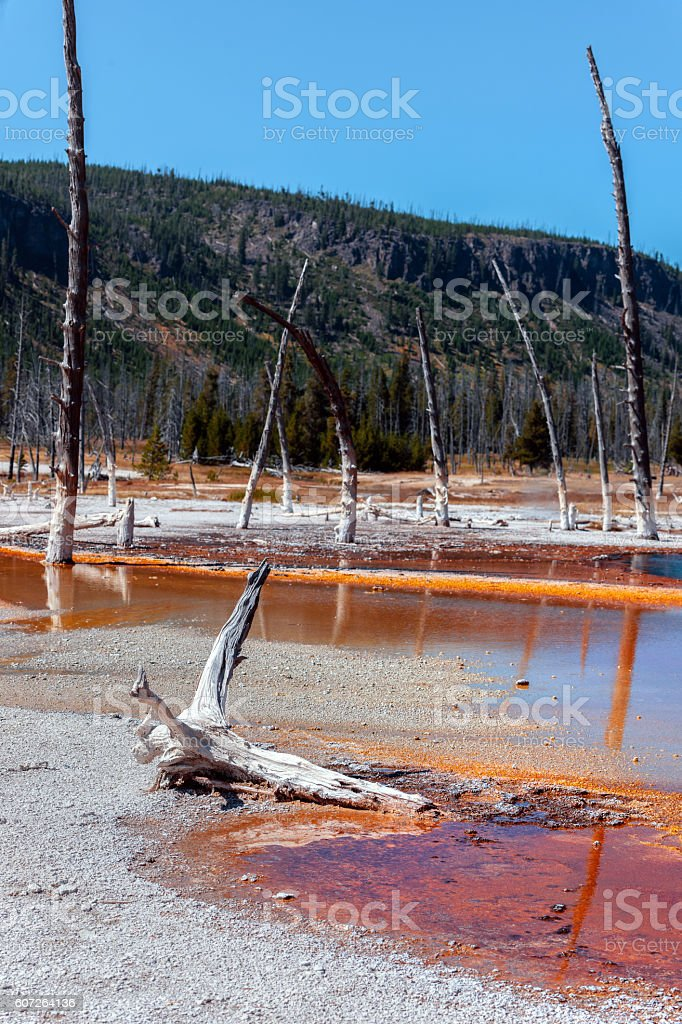 Dry Trees  and Blue Pool in Yellowstone Wyoming USA stock photo