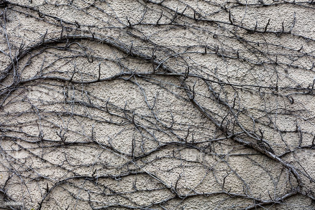 Dry trunks and branches of ivy plant. Abstract grunge background. stock photo