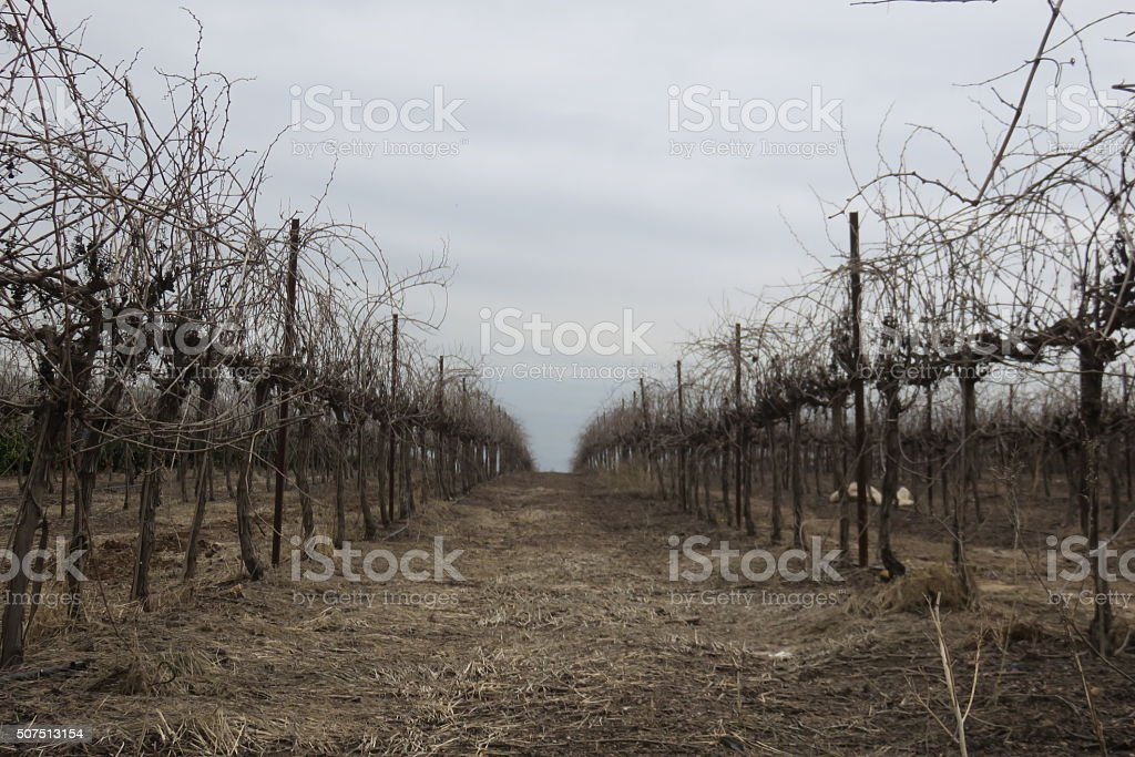 Dry vineyards stock photo