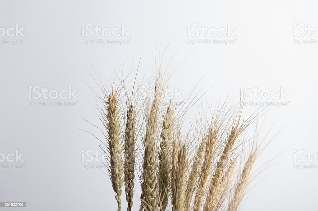 dry wheat stem with spikelets stock photo