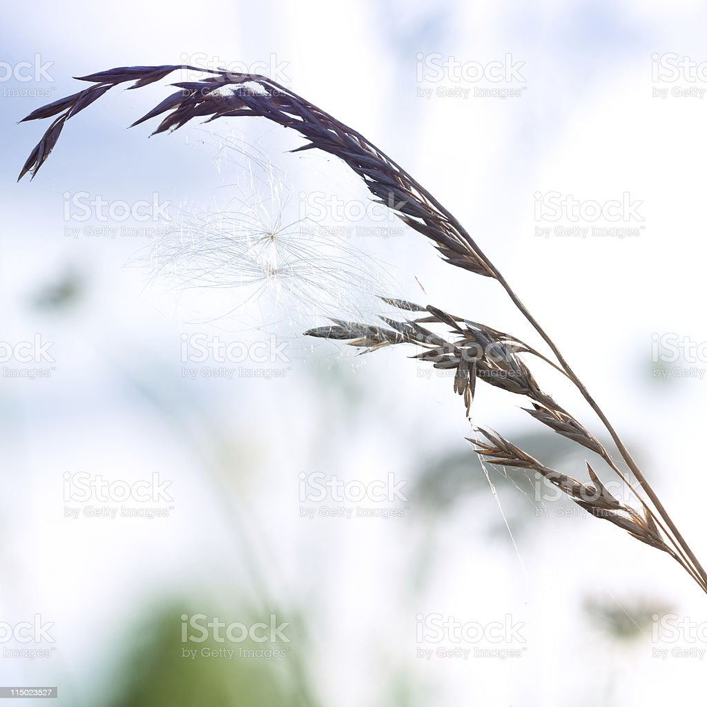 Dry wildflower in meadow during sunset royalty-free stock photo