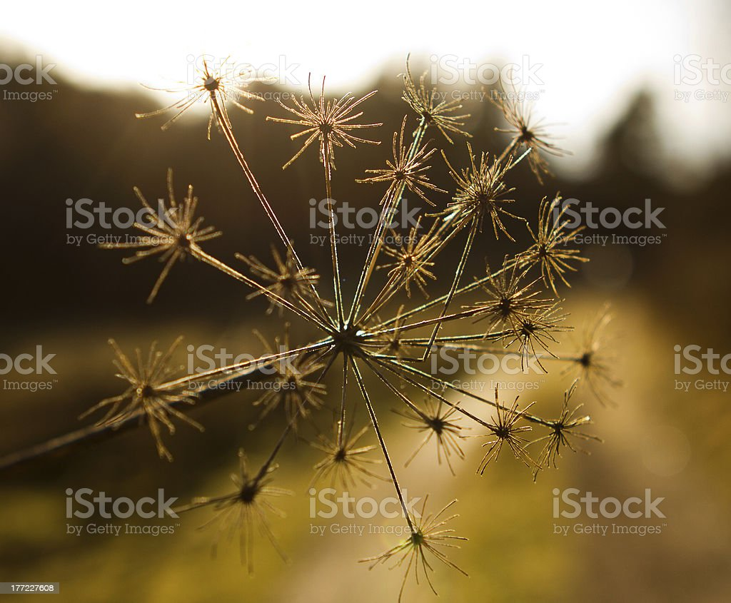 Dry Winter Flower stock photo