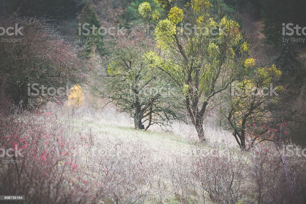 Dry winter landscape with trees and mistletoe stock photo