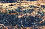 dry yellow grass