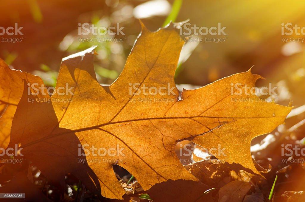Dry yellow oak leaf stock photo