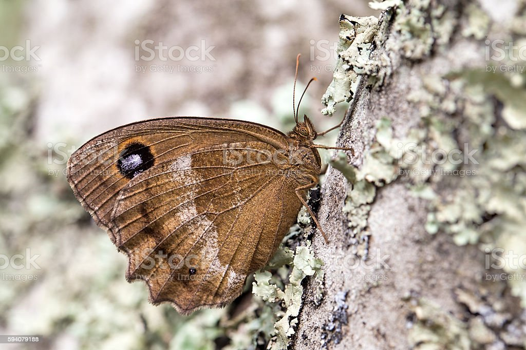 Dryad (Minois dryas) butterfly stock photo