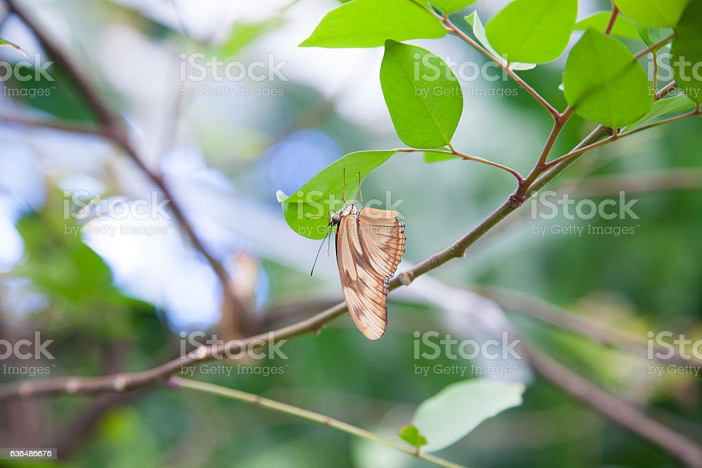 Dryas iulia butterfly on green leaf stock photo