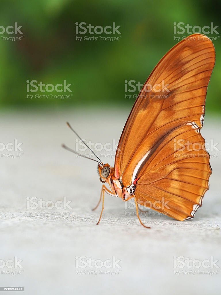 Dryas Iulia Butterfly stock photo