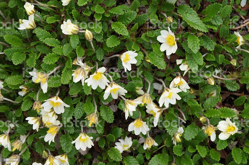 Dryas octopetala white flowers and plant stock photo