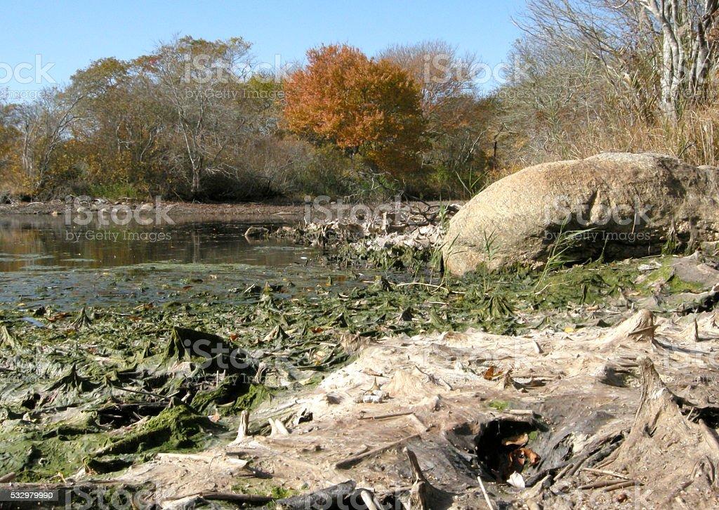 Drying algae  (Eukaryota) on receding shoreline stock photo