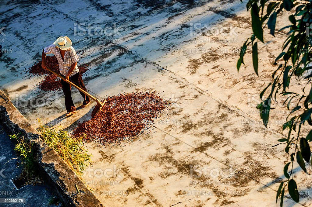 Drying cacao beans in Guatemala stock photo