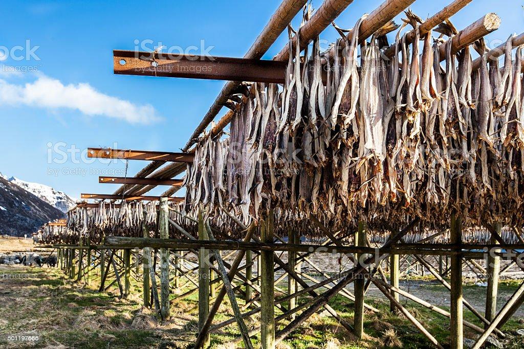 Drying cod fish, Lofoten stock photo