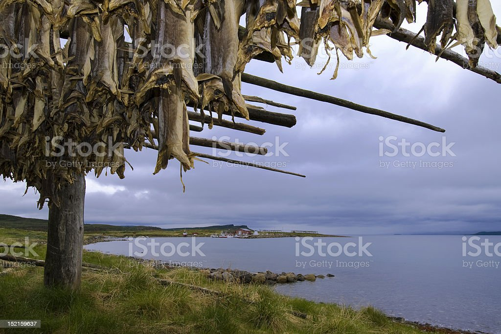Drying cod royalty-free stock photo