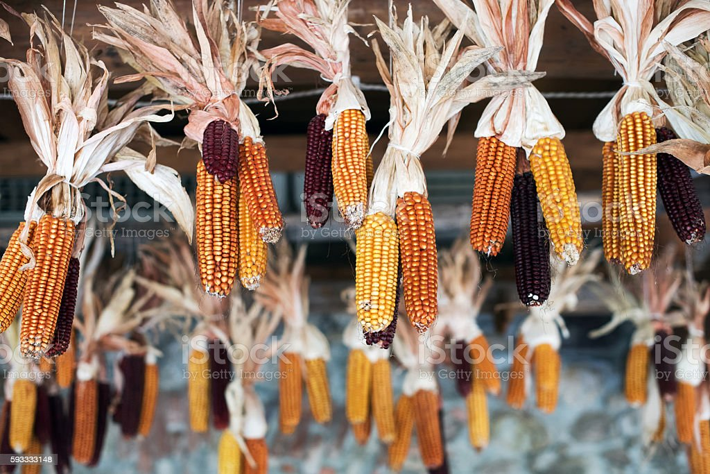 Drying corn cobs hanging from the rafters stock photo