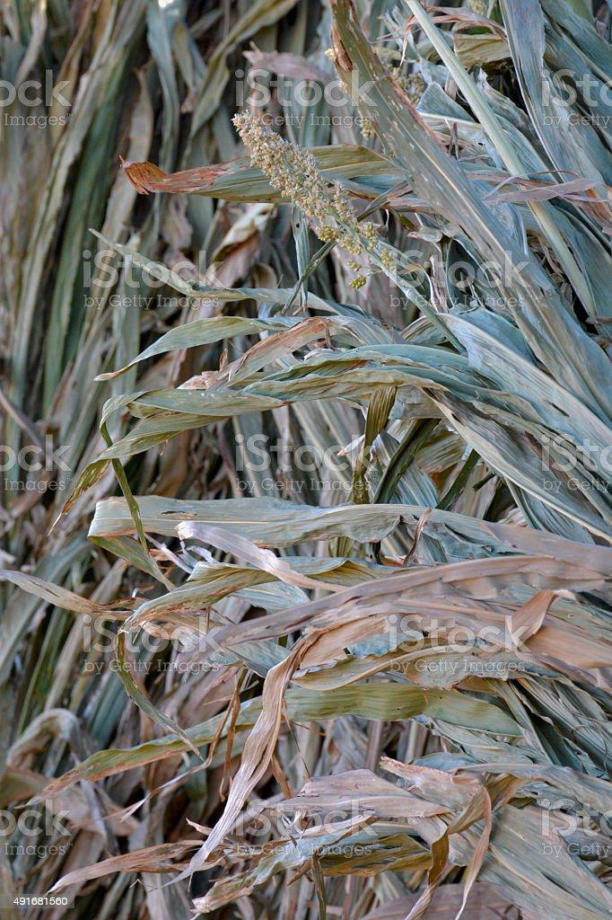 Drying corn stalks royalty-free stock photo