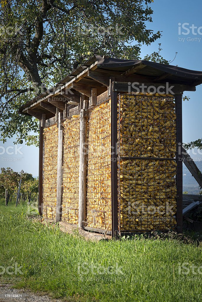 drying corncobs royalty-free stock photo