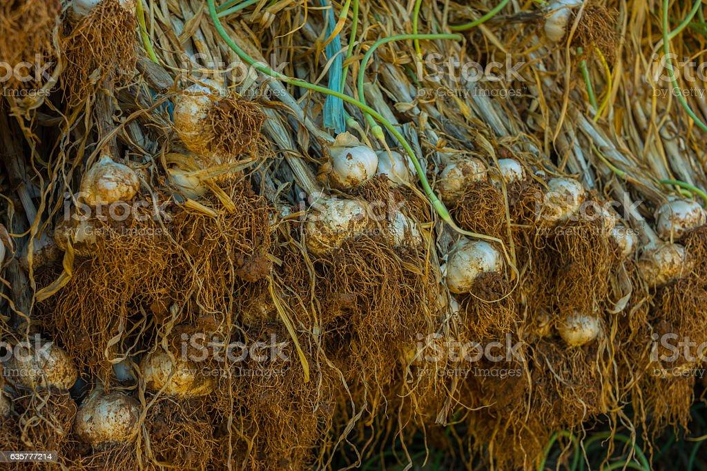 Drying Garlic at the shadow stock photo